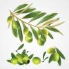 無料ベクターイラスト素材。オリーブの実、枝、葉っぱのイラスト