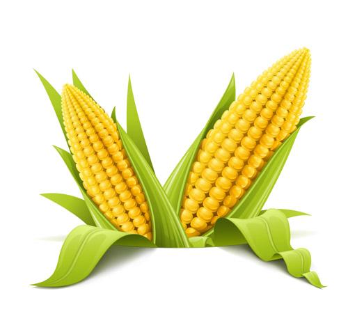 Corns-Free-Vector おいしそうなコーン(トウモロコシ)の無料ベクターイラスト素材