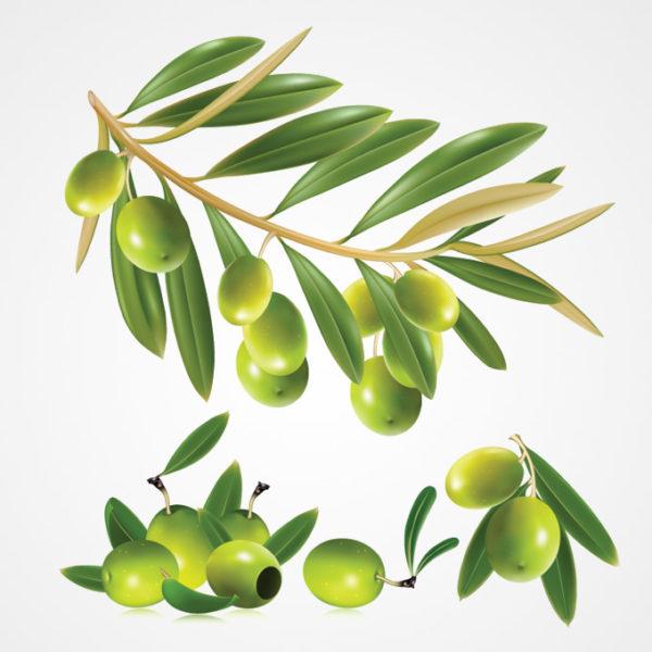 free-olive-vector-1101-600x600 無料ベクターイラスト素材。オリーブの実、枝、葉っぱのイラスト